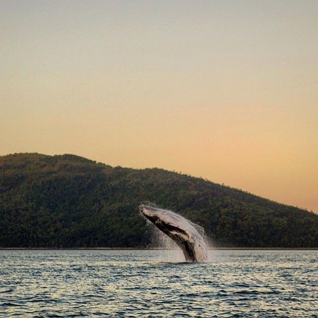 Whale at sunset by @gbrmarinepark